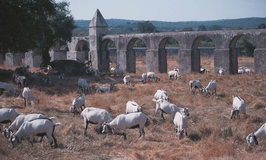 "Jun 2001 - ""Goats of Evora"" Aqueduct Goats Animal Themes Arches Architecture Beauty In Nature Built Structure Day Domestic Animals Grassland Herd Animal Large Group Of Animals Livestock Mammal Nature No People Outdoors Sky Tree"