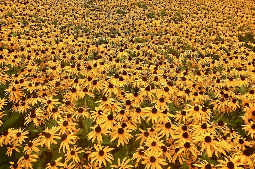 Soooooo many!! Mission Ottawa, Ontario, Canada Growth Beauty In Nature Flowering Plant Yellow Flower Head No People Full Frame Petal Abundance Outdoors Flowerbed Black Eyed Susans Day Flower Plant Yellow Flowers Nature