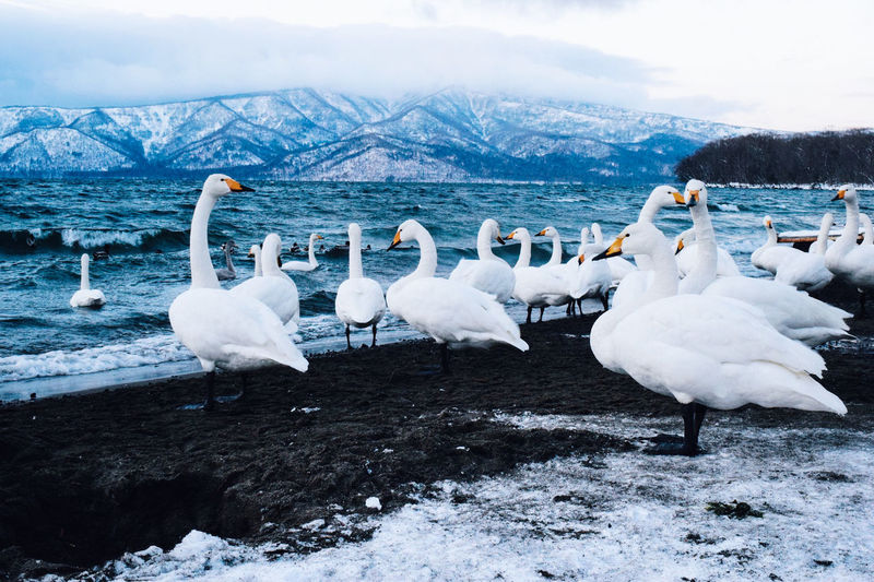 White swans by lake against snow covered mountains and sky during winter