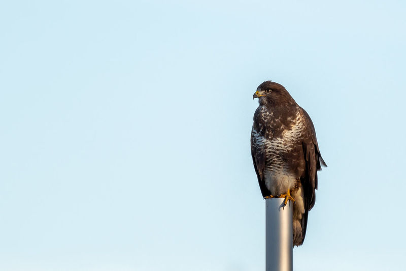 Low angle view of eagle perching on the sky