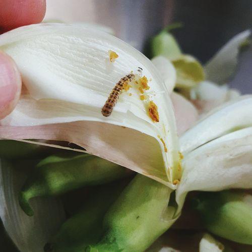Food Larva  Worm Close-up Sesbania Grandiflora ดอกแค หนอน ปลอดสารพิษ Pedicide Free