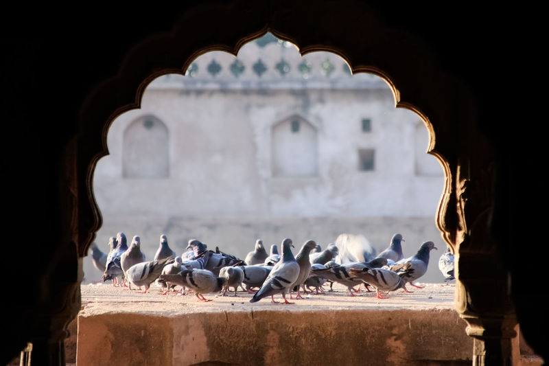 Close up flock of pigeons on old wall background.