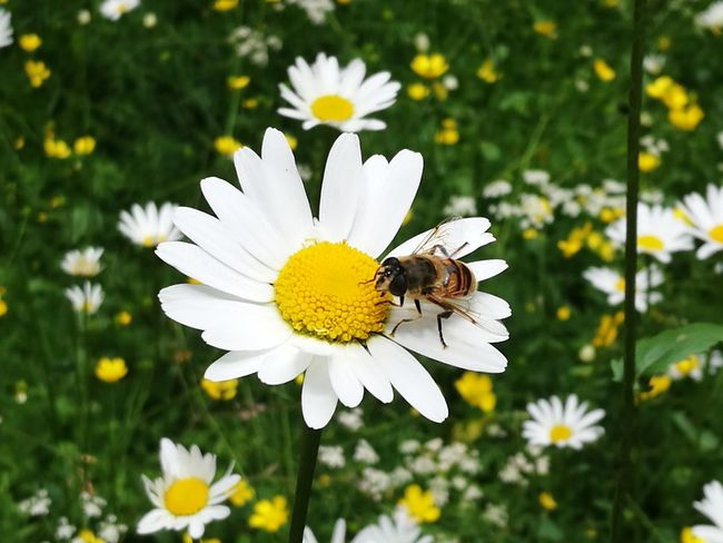 Flower Head Flower Bee Perching Pollination Full Length Insect Petal Summer Uncultivated