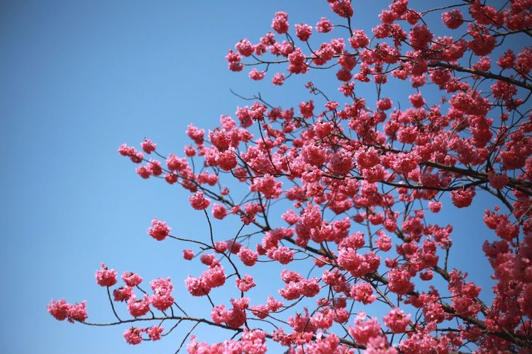 Freshness Growth Nature Low Angle View Pink Color Tree Beauty In Nature Fragility Flower Branch Springtime Clear Sky No People Outdoors Day Sky Plum Blossom Blooming Close-up Rowanberry Millennial Pink