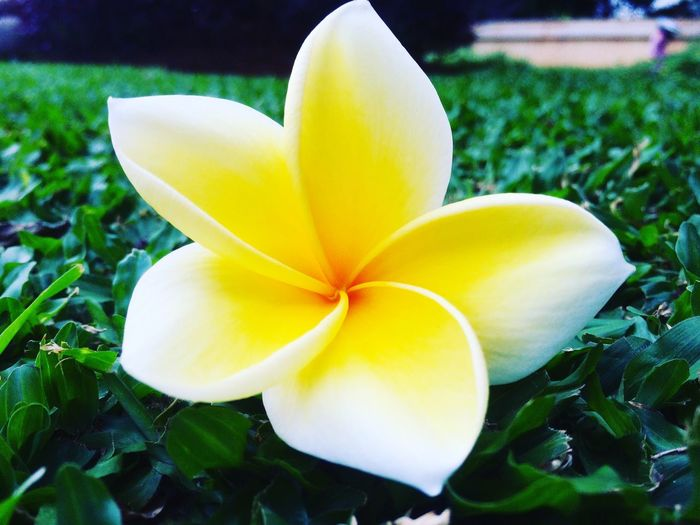 Plumeria Flower Nature Petal Fragility Growth Beauty In Nature Yellow Close-up Flower Head Freshness Frangipani Blooming No People Outdoors Day Plumeria