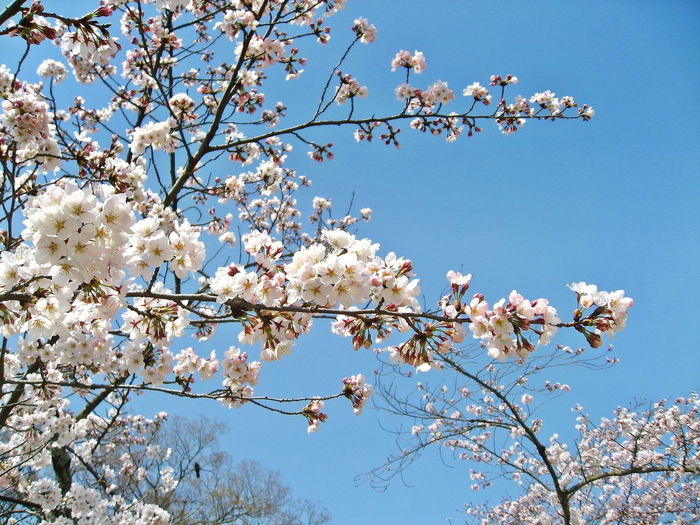 Low angle view of cherry blossoms against sky.