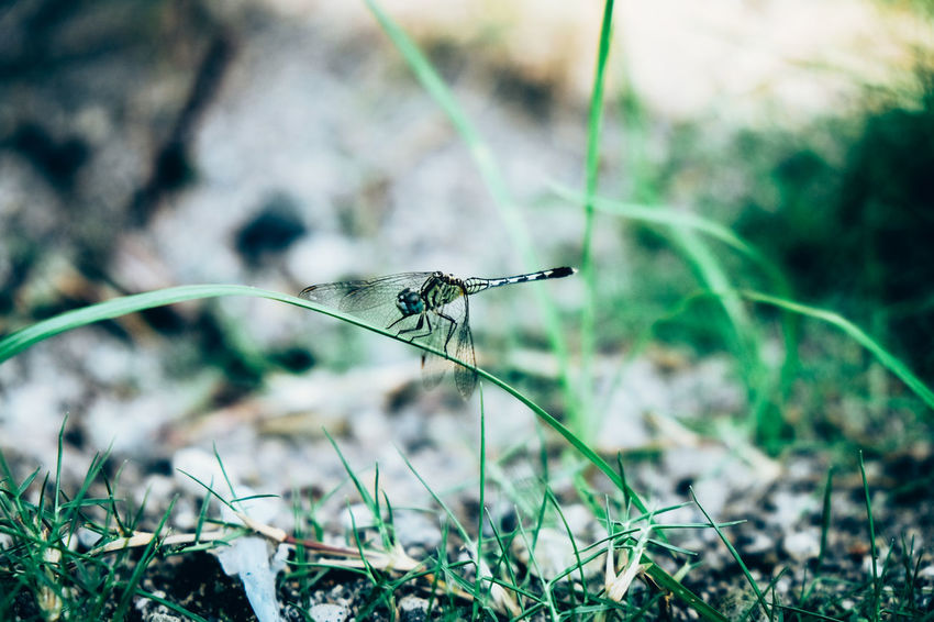 Animal Themes Animal Wildlife Animals In The Wild Arthropoda Beauty In Nature Bokeh Close-up Damselfly Day Dragonfly Focus On Foreground Grass Green Color Insect Nature No People Odonata One Animal Outdoors Plant Zygoptera