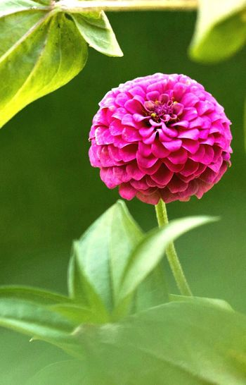 Just another flower... My Lil Zennia Garden Open Edit For Everyone Zinnia