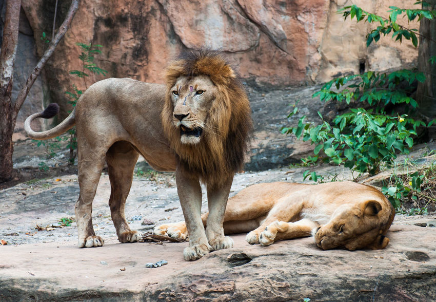 The lion pair are resting at the rocks. Animal Themes Animal Wildlife Animals In The Wild Bush Couple Day King Lion - Feline Lioness Mammal No People Outdoors Queen Relaxation Rock - Object Scar Skinny Sleeping Standby Wound