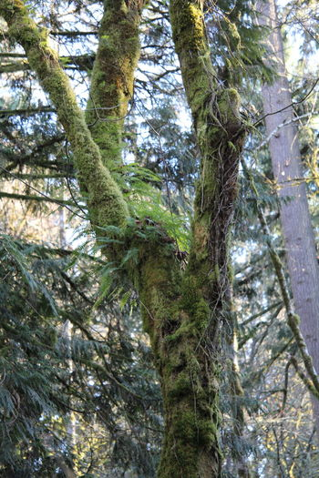 Moss & Lichen Pacific Northwest  Pacific Northwest Beauty Beauty In Nature Branch Close-up Day Forest Green Color Growth Low Angle View Moss Nature No People Outdoors Tree Tree Trunk