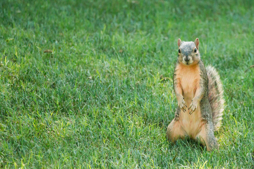 Squirrel striking a pose Animal Animal Themes Animal Wildlife Animals In The Wild Day Domestic Domestic Animals Field Grass Green Color Land Mammal Nature No People One Animal Outdoors Pets Plant Portrait Sitting Vertebrate
