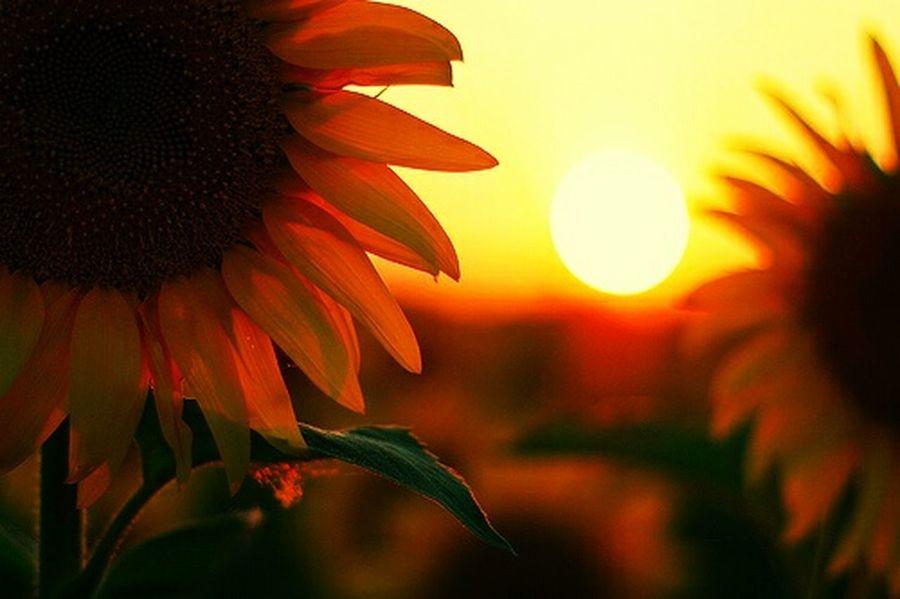 Sunset Sunflower Flowers Nature