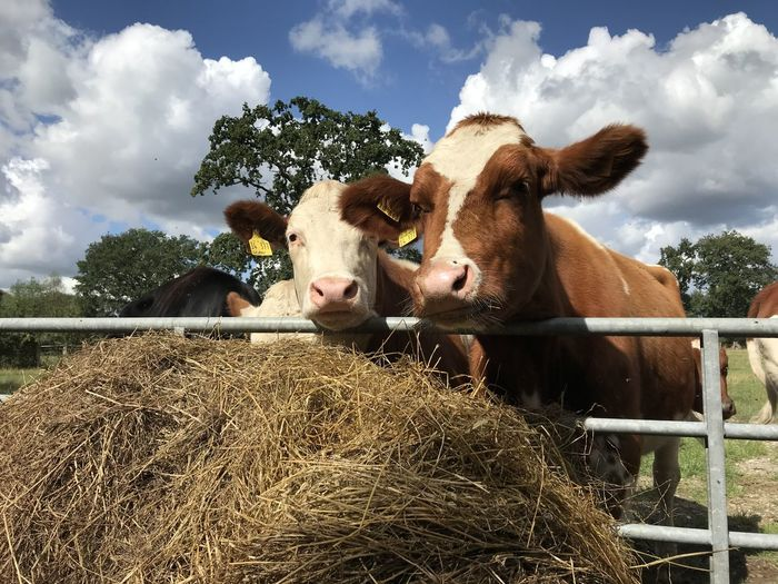 Cows / Kühe Kuh