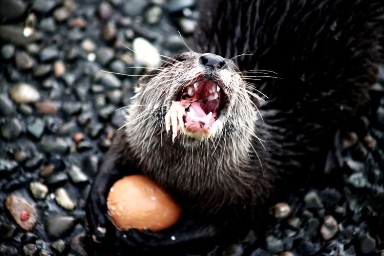 Short clawed otter showing off its dinner, whilst always keeping a hold of its egg ready for afters
