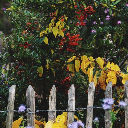 Autumn Colors Fall Beauty Garden Photography City Gardens Autumn Leaves Colorful Nature Nature_collection Wooden Fence Rustic Style Garden