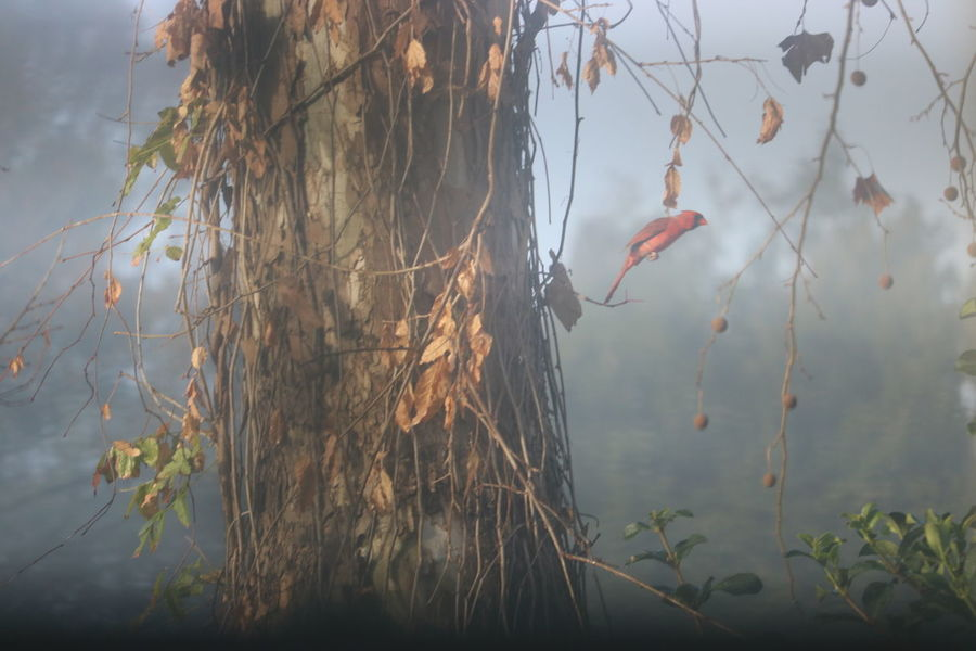 Foggy Morning A Red Bird Fly Sunny Morning Red Bird Flying Bird Foggy Sun Through Fog
