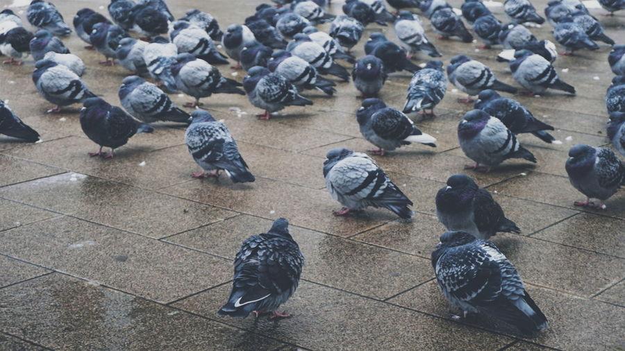 Pigeons on wet paved street