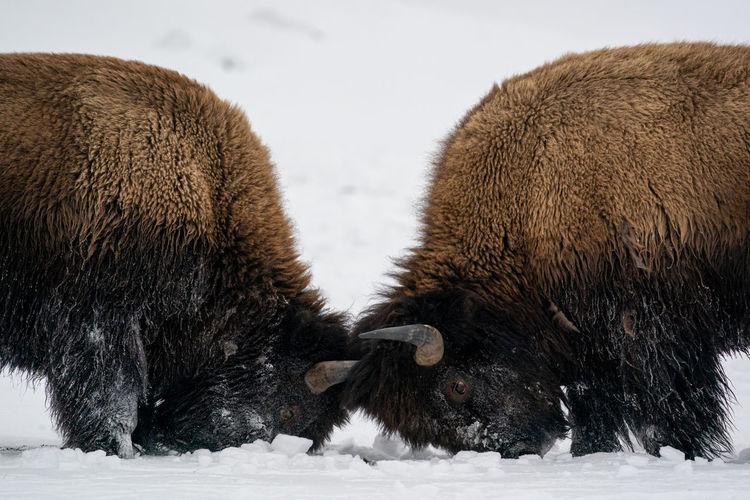 Strong wood bisons, bison bonasus, fighting on snow