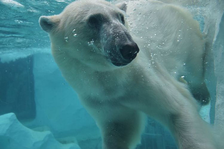 Close-up of polar bear swimming in sea