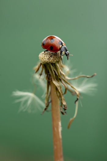 Ladybird perched on a dandelion in the field shortly after the rain. Ladybug is a symbol of luck and happiness. Ladybird Wildlife & Nature Happiness Luck Macro