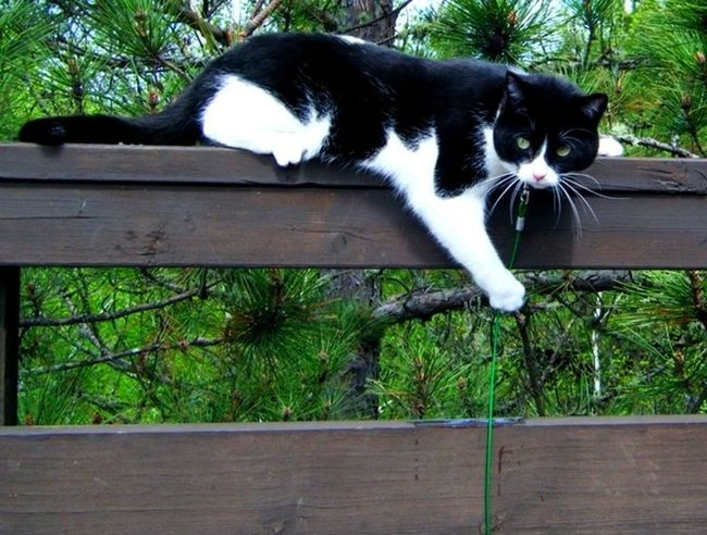 Black And White Cat Outside On Leash Climbing In The Moment Kenora Ontario IPhone