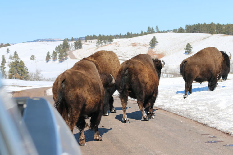 Herd of Bison in Custer State Park American Bison Animal Themes Beauty In Nature Clear Sky Cold Temperature Day Mammal Nature No People Outdoors Sky Snow Sunlight Tree Winter