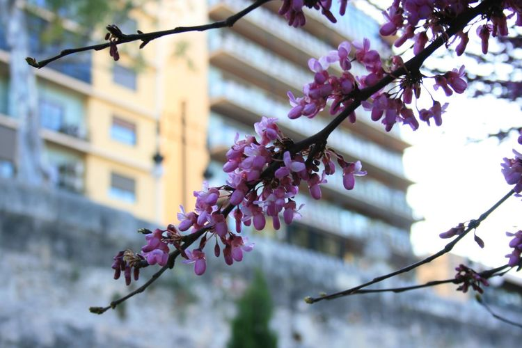 Bokeh Bokeh Photography Close-up Flowers In The Nature Focus On Foreground Fragility Pink Flowers Spring In The City Trees In Bloom Trees In Blossom Trees With Pink Flowers Urban Spring Fever What I Like Bloom Blooming