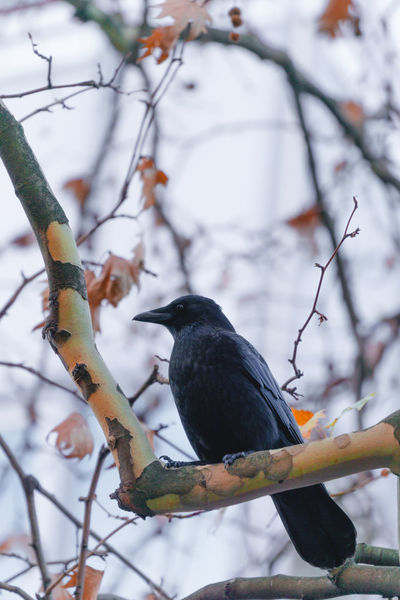 Close-up of a Black Raven Bird on a Big Branch in Autumn. Raven - Bird Raven Black Bird Black Animal Branches Branch Autumn Leaves Calm Close-up Ornithology  Nature Common Raven Common BIG Beak Sitting Perching No People Day One Animal Bird Tree Focus On Foreground Vertebrate Blackbird Outdoors Beauty In Nature Animals In The Wild