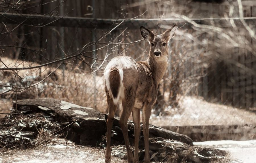 Alertness Animal Themes Backyard Backyard Friends Beauty Beauty In Nature Day Deer Doe Elegant Focus On Foreground Mammal Nature On Your Doorstep One Animal Outdoors Regal Showcase April Standing The Week On EyeEm Watching White-tailed Deer Whitetail Deer Wildlife Wildlife Photography Yearling The Great Outdoors - 2016 EyeEm Awards