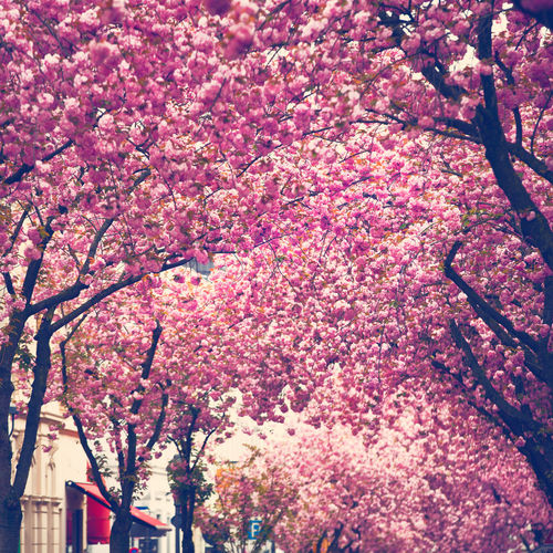 Allover Blossoms  City Hapinness Japanese Cherry Blossoms Pink Color Treeblossoms Trees Treescollection Urban