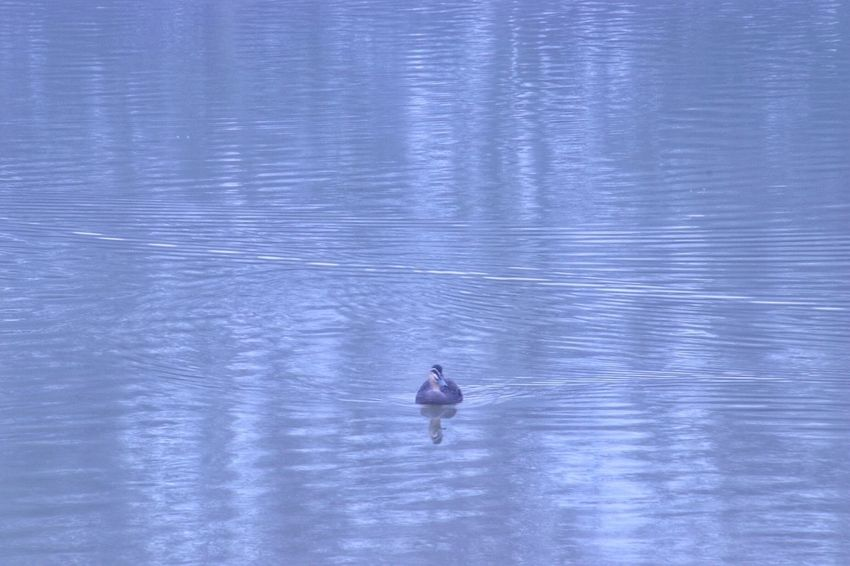 Single duck in lake Water Beauty In Nature One Person Blue Nature Tranquility Scenics - Nature Reflection Outdoors Tranquil Scene Lake Waterfront