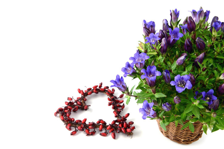 flowerpot of blue gentian on white isolated background with autumn decoration like rose hip heart. Arrangement Blue Close-up Cut Out Decor Decoration Flower Flower Head Green Color Multi Colored Nature Petal Plant Purple Stem Still Life Studio Shot White Background Gentian Gentian Flower Gentian Blue Gentian Plant Flowerpot Rosehips