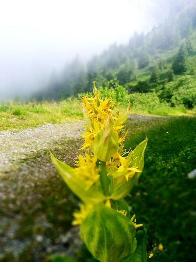 The Moment - 2015 EyeEm Awards Flower In The Mist Yellow Flowers Grey And Foggy On The Path Mountains