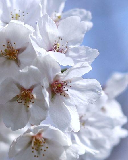 日本 Japan EyeEm EyeEm Nature Lover EyeEm Flower eyeemphoto Eyeemphotography EyeEm Gallery 桜 Photoftheday Flower Head Flower Tree Springtime Petal Blossom Close-up Plant