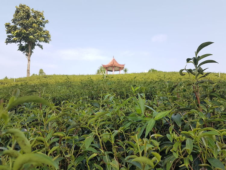 Green Color Growth Tree Field Tranquil Scene Landscape Rural Scene Grass Tranquility Sky Scenics Plant Nature Beauty In Nature Surface Level Agriculture Outdoors Day In Front Of No People Chiang Rai Thailand Samsung Galaxy S7 Tea Plantation  Chouifongtea