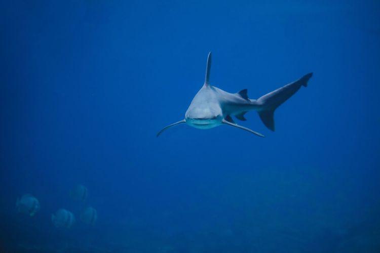 Shark Blue Animal Sea Underwater Animal Themes Water Animals In The Wild Animal Wildlife UnderSea Sea Life Marine Fish Swimming One Animal No People Beauty In Nature