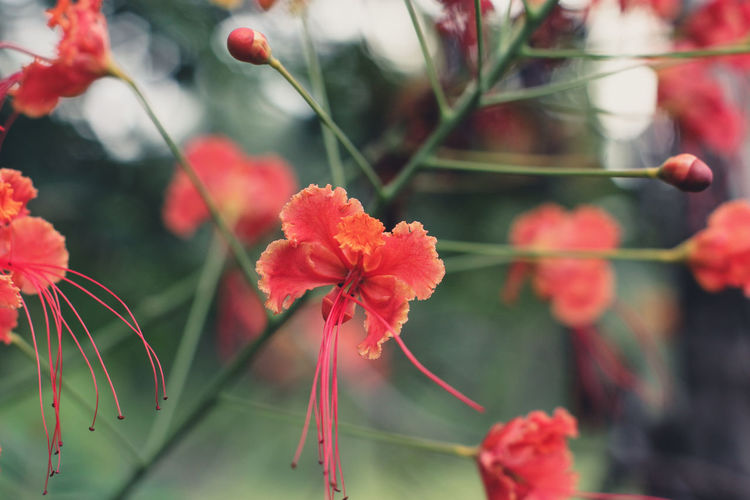 Beauty In Nature Close-up Day Flower Flower Head Flowering Plant Focus On Foreground Fragility Freshness Growth Inflorescence Nature No People Outdoors Petal Plant Plant Stem Pollen Red Selective Focus Vulnerability