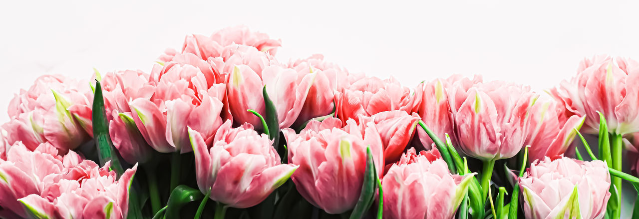 Close-up of pink tulips against white background