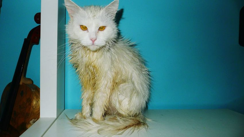He loves taking a bath. Cat Lovers Persiancat Cats Animals Meow