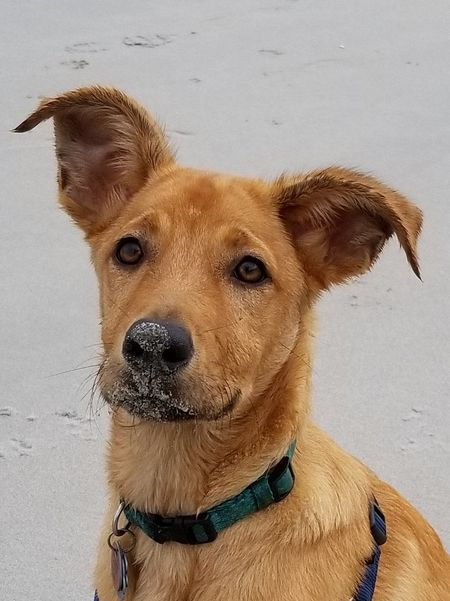 Beach Dog Pets One Animal The Week On EyeEm Looking At Camera Domestic Animals Portrait Mammal Animal Themes Ear Close-up No People Day Outdoors Cunucu Captain Puppychubbles Rescue Rescue Dog Aruba Adopt Don't Shop