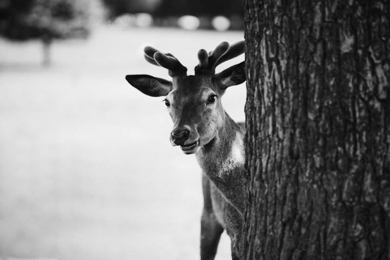Close-up portrait of deer by tree trunk