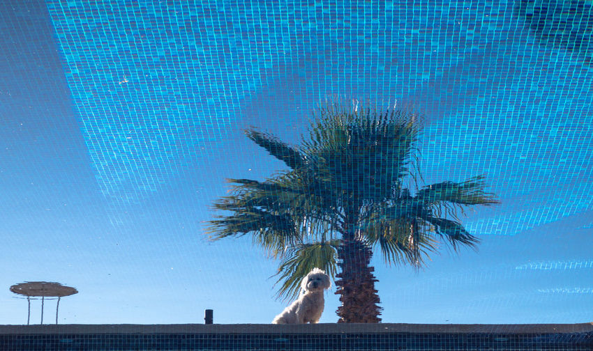 Animal Themes Beauty In Nature Blue Day Domestic Animals Maltese Mammal Nature No People One Animal Outdoors Palm Tree Pets Reflection Sitting Sitting Under A Tree Sky Swimming Pool Tree Vacations Sommergefühle Pet Portraits Inner Power