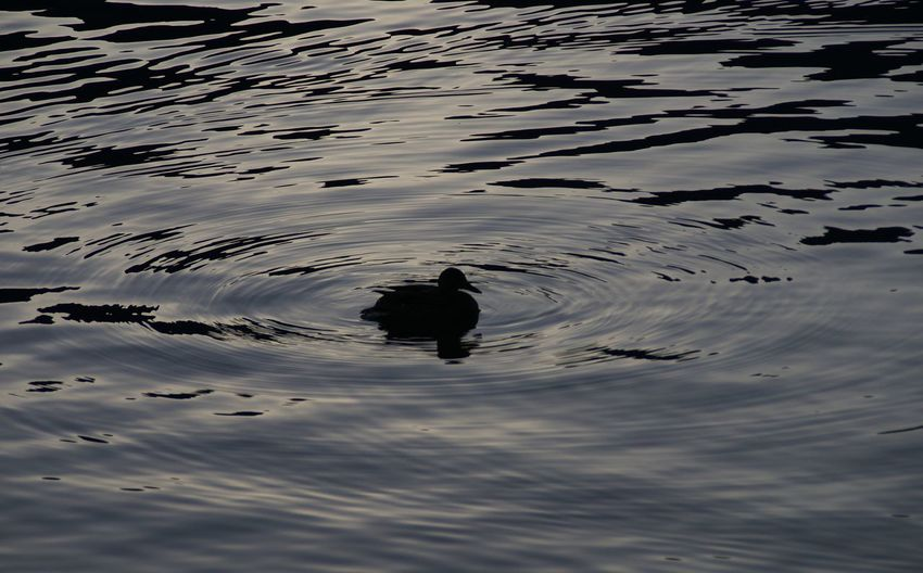 Reflection of duck swimming in lake