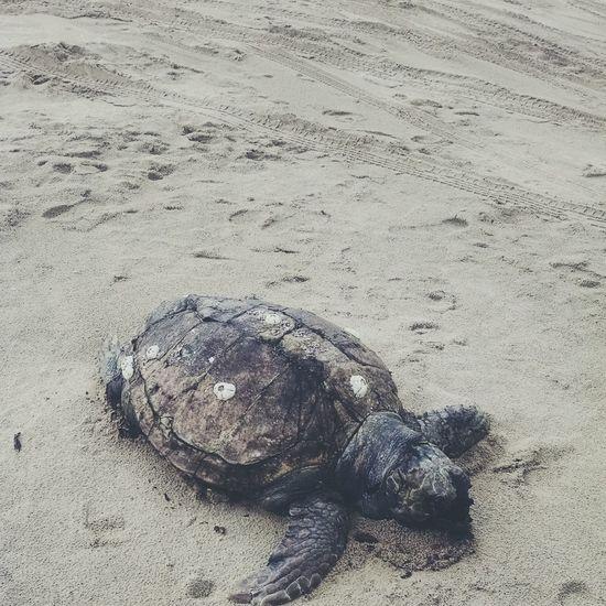 Turtle Animals Nature Sea Beach Sand Death