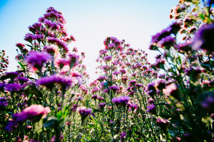 Low angle view of pink flowering plants on field
