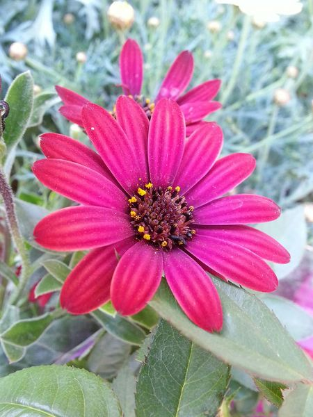 Leaf Leafs 🍃 Flower Beauty In Nature Nature 3XSPhotographyUnity 3XSPUnity Pink Color Pink Flower 🌸 Green Color Star Flower Yıldız çiçeği