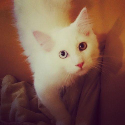 Neuer Mitbewohner <3 Cat Mainecoon Oddeye Bildermitkatze