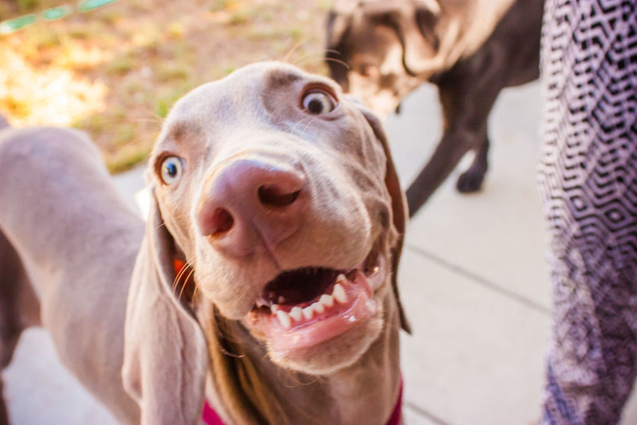 Animal Tongue Canine Canine Companion Canine Photography Caninecuties Canines Close-up Dog Dog Love Dogs Dogs Of EyeEm Dogs Playing  Dogs Playing Together Dogslife Dogstagram Dog❤ Domestic Animals German Weimaraner Loyalty One Animal Outdoor Playtime Outdoors Pets Playing Outside Snout