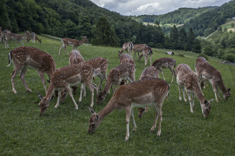 Animal Animal Themes Animal Wildlife Animals In The Wild Day Deer Environment Field Grass Grazing Group Of Animals Herbivorous Herd Land Mammal Mountain Nature No People Plant Roe Deer Cub Roe Deers Standing Tree