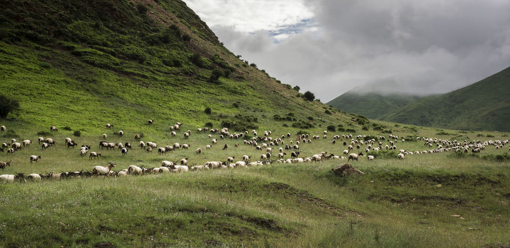 Encounter Animal Themes Beauty In Nature Crowd Flock Of Sheep Grass Landscape Large Group Of Animals Mammal Mountain Nature Pasture Prairie Togetherness Tourism Travel